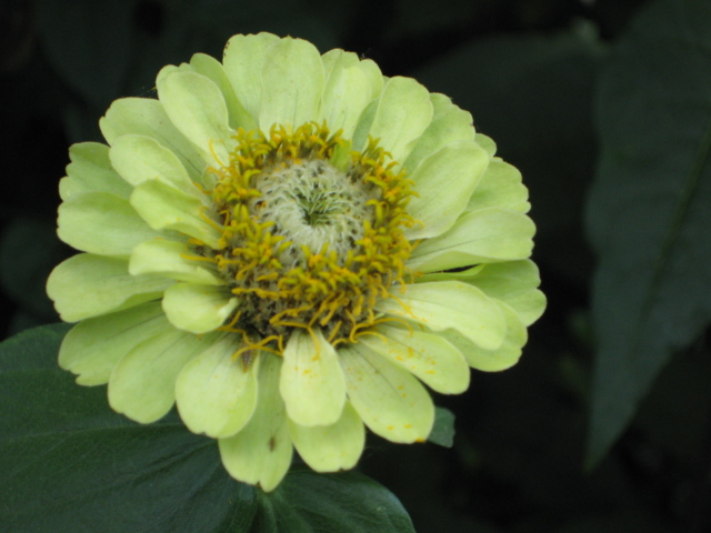Green Envy Zinnia