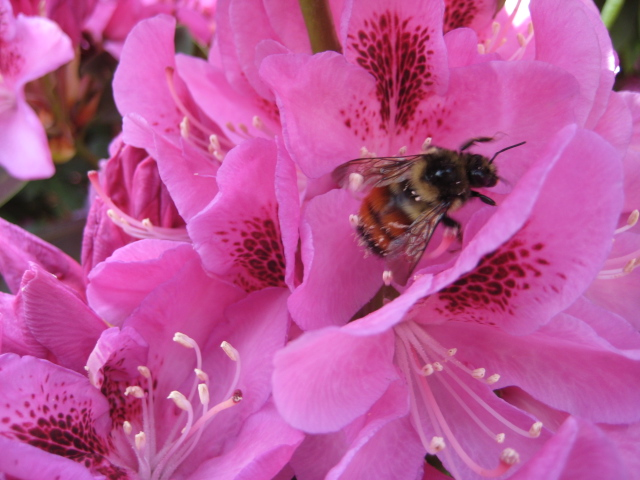 Bee in the Rhody